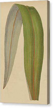 Leaf Of A Mountain Cabbage Tree Or Bush Flax Canvas Print by English School