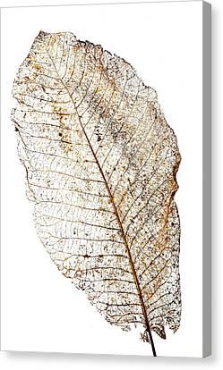 Leaf Skeleton Canvas Print by Garry Gay