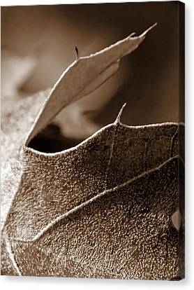 Leaf Study In Sepia II Canvas Print by Lauren Radke