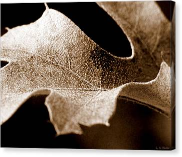 Leaf Study In Sepia Canvas Print by Lauren Radke