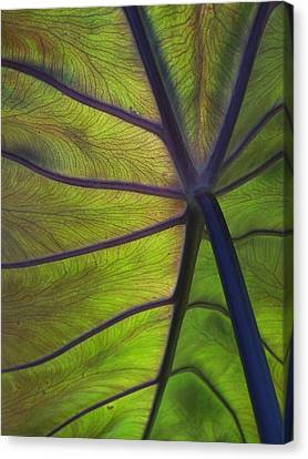 Leaf Veins Canvas Print
