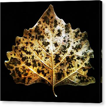 Leaf With Green Spots Canvas Print by Joseph Frank Baraba