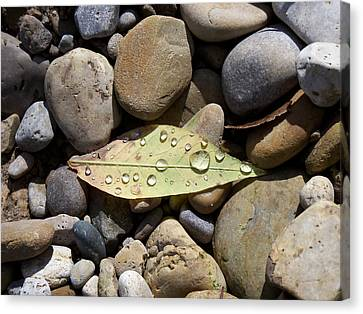 Leaf With Water Droplets In Rocks Canvas Print