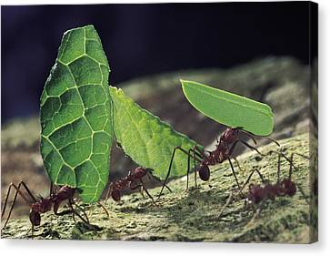 Leafcutter Ant Atta Cephalotes Workers Canvas Print by Mark Moffett