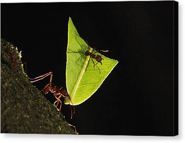 Leafcutter Ant Atta Sp Carrying Leaf Canvas Print by Cyril Ruoso