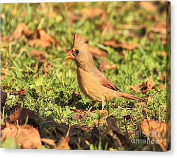 Canvas Print featuring the photograph Leafy Cardinal by Debbie Stahre