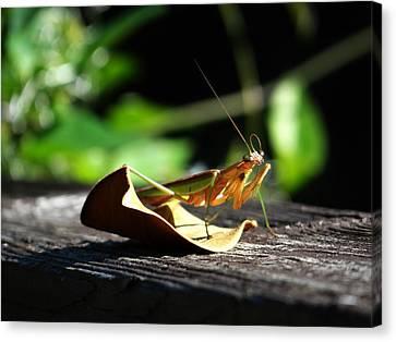 Leafy Praying Mantis Canvas Print