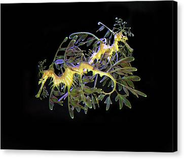 Leafy Sea Dragons Canvas Print by Anthony Jones