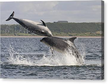 Leaping Bottlenose Dolphins - Scotland  #38 Canvas Print