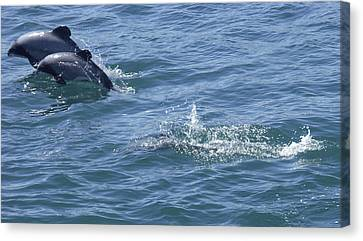 Leaping Hector's Dolphins Canvas Print