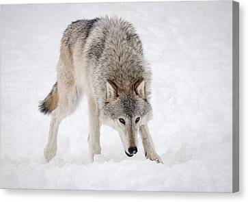 Leary Wolf Style Canvas Print by Athena Mckinzie