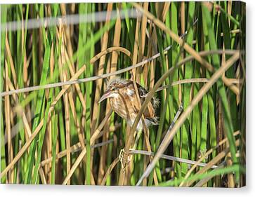 Least Bittern 3917 Canvas Print by Tam Ryan