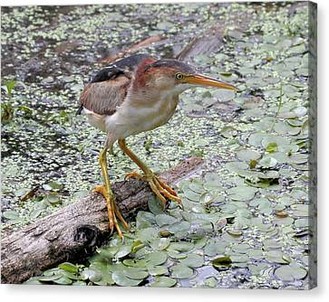 Canvas Print featuring the photograph Least Bittern by Doris Potter