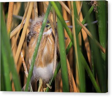 Least Bittern Juvenile 3669 Canvas Print by Tam Ryan