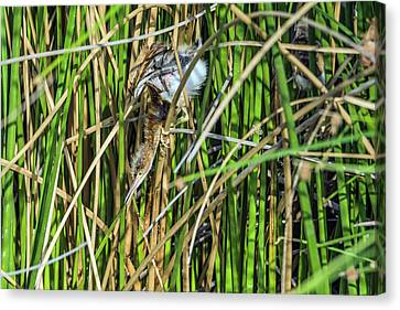Least Bittern Juvenile 3921 Canvas Print by Tam Ryan