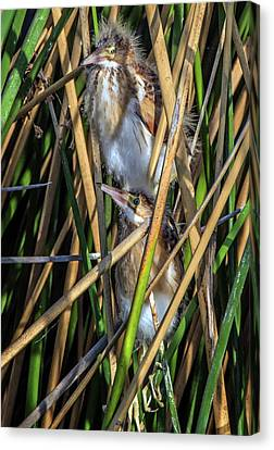 Least Bittern Juveniles 3663 Canvas Print by Tam Ryan