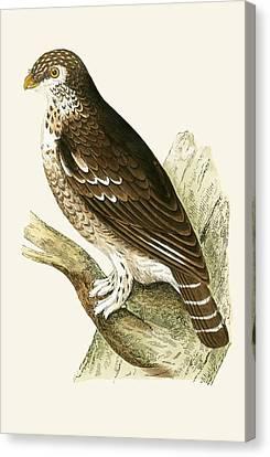 Least European Sparrow Owl Canvas Print by English School