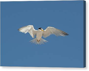 Least Tern 2 Canvas Print