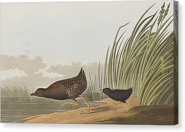 Least Water Hen Canvas Print by John James Audubon