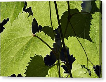 Leaves Of Wine Grape Canvas Print by Michal Boubin