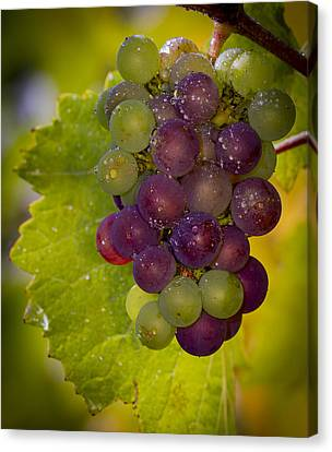 Leftover Pinot Cluster Canvas Print by Jean Noren