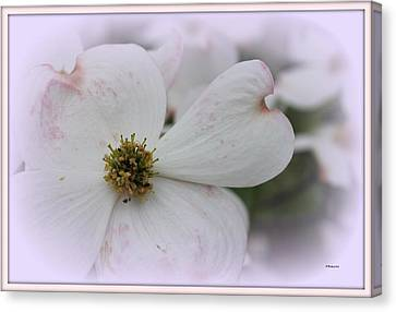 Legend Of The Dogwood Canvas Print by Betty Northcutt