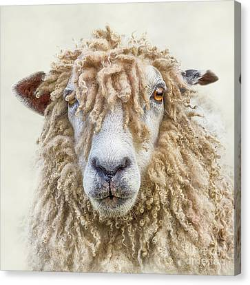 Leicester Longwool Sheep Canvas Print