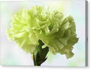 Canvas Print featuring the photograph Lemon Carnation by Terence Davis