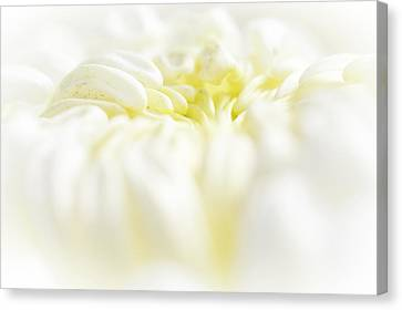 Lemon Meringue Chrysanthemum Canvas Print by Mother Nature