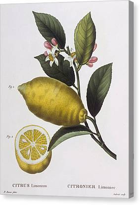 Lemon Canvas Print by Pancrace Bessa