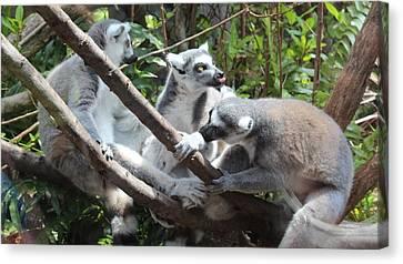 Lemur Family 1 Canvas Print