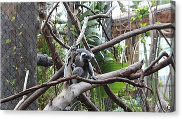 Lemur Scared Of Heights Canvas Print