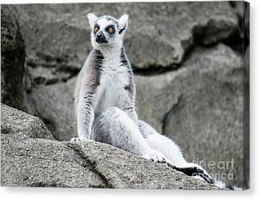 Lemur The Cutie Canvas Print