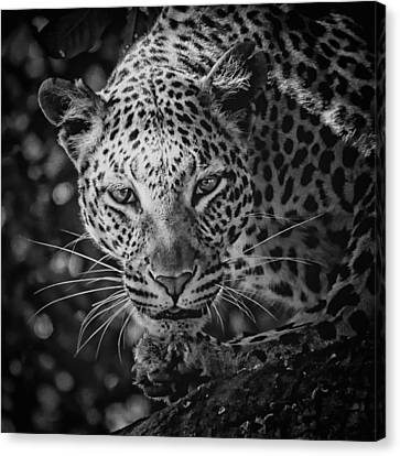 Leopard, Black And White Canvas Print