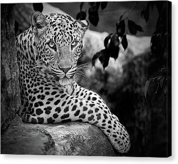 Leopard Canvas Print by Cesar March