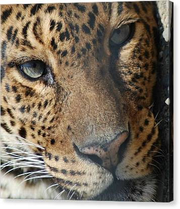 Canvas Print featuring the photograph Leopard Face by Richard Bryce and Family