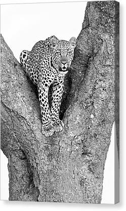 Leopard Canvas Print - Leopard In A Tree by Richard Garvey-Williams