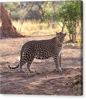 Leopard Canvas Print by Keith Levit
