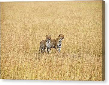 Leopard Pair Canvas Print