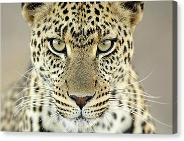 Leopard Panthera Pardus Female Canvas Print by Martin Van Lokven