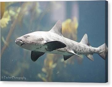 Leopard Shark Canvas Print by Kyle Fischer