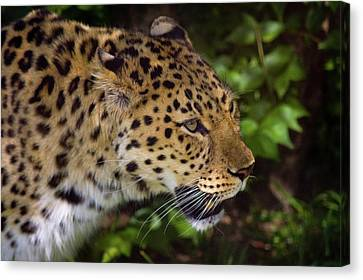 Canvas Print featuring the photograph Leopard by Steve Stuller