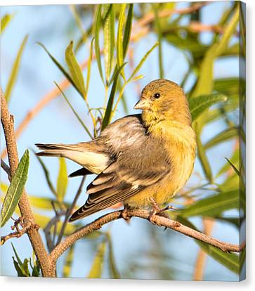 Canvas Print featuring the photograph Lesser Goldfinch by Dan McManus