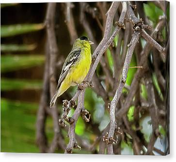 Canvas Print featuring the photograph Lesser Goldfinch H57 by Mark Myhaver