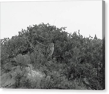 Lesser Horned Owl Canvas Print by Sandy Taylor