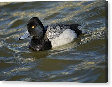 Canvas Print featuring the photograph Lesser Scaup Drake by Bradford Martin