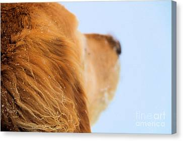 Snowy Golden Retriever Canvas Print - Let Jenny Lead The Way by Elizabeth Dow