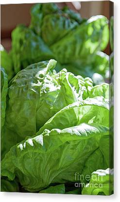Lettuce For The Blt Canvas Print by Sherry Hallemeier