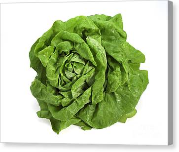Lettuce Lactuca Sativa Canvas Print