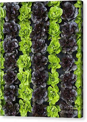Lettuce Rows Canvas Print by Tim Gainey